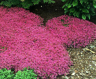 Alyssum Royal Carpet 150 Fresh Seeds Sweet Fragrance Old Fashioned Charm!