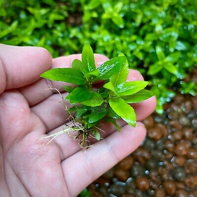 Staurogyne Repens Clump Live Aquarium Plants Freshwater Foreground BUY2GET1FREE*