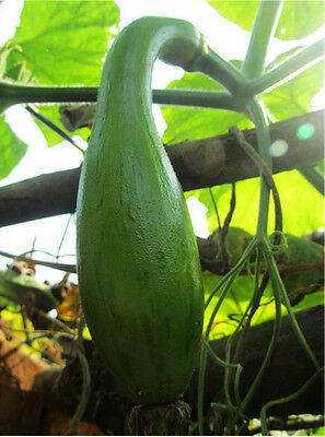 6 Seeds Of Each Pack Long Type' Bottle Gourd Seeds Cucurbita Pumpkin B033 Hot