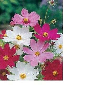 Cosmos Sensation Mix Flower Seeds - Fresh and Hand Packaged