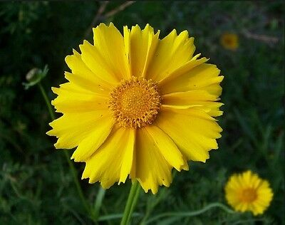 Coreopsis, Lance Leaf Coreopsis Flower Seeds - Fresh & Hand Packaged