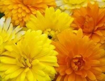 Calendula Fancy Mix Flower Seeds - Fresh & Hand Packaged
