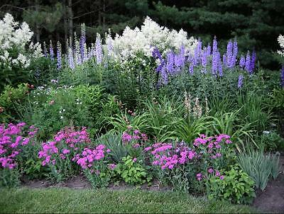 Delphinium Pacific Giants Mixed Colors 40 Seeds Gorgeous Free Ship!