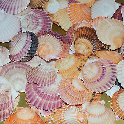Shells Natural 200gms .. Beach Nautical Wedding  Decorations .. Vase Decorations