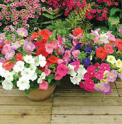 Petunia 100 Seeds Mixed Colors Attract Hummingbirds & Butterflies Free Ship!