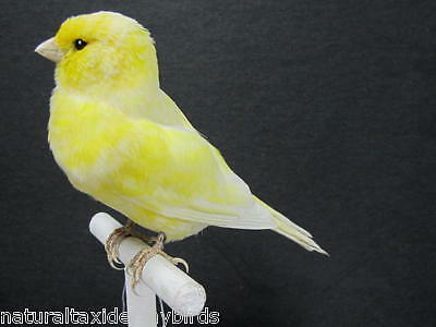 Bright Yellow Domestic Canary Real Bird  Taxidermy Mount