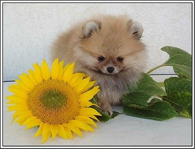 Set of 4 Pomeranian Puppy Dog Autumn Stationery Greetings Notecards / Envelopes