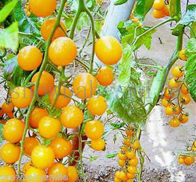100+ Yellow Cherry Tomato seeds Rare Sweet Fruit Vegetable Organic HIGH NUTRIENT