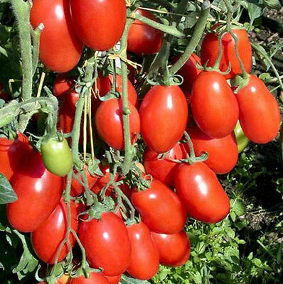 Tomato San Marzano 50 Fresh Heirloom Seeds Super Yummy! Non-GMO Free Ship!