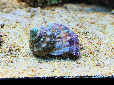 True Mexican Turbo Snail Pack X2 Hair Algae Eater Clean up Crew CUC Marine