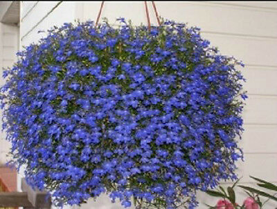 Lobelia True Blue Cascade 200 Seeds Beautiful Ground Cover Rock Garden