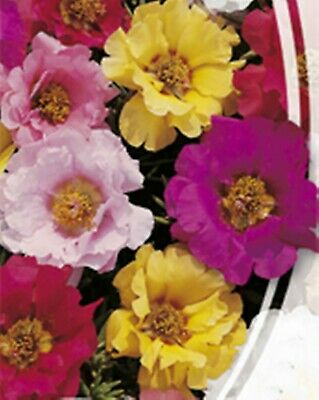 Flower Seeds Double Moss-Rose Double Mix (Portulaca grandiflora) Annual