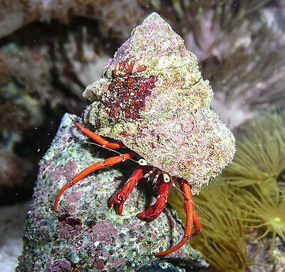Red Leg Hermit Crabs Pack X5 Clean up Crew Algae Eaters Marine Turbo Reef