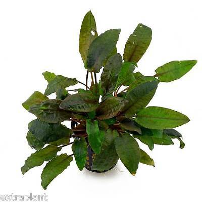 Cryptocoryne Beckettii Pot Crypt Aquatic Live Aquarium Plants BUY2GET1FREE*