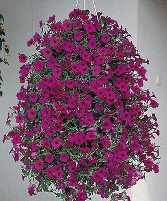 Petunia Seed  Tidal Wave Purple  Annual Seeds