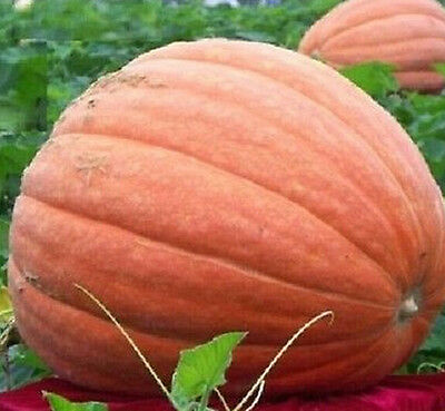 FD1037 Pumpkin Seed Giant Pumpkin Vegetables Seed Tender Juicy Healthful 5pcs*