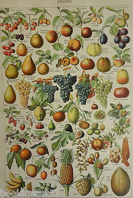 Ancienne Planche Illustree 1910 : Fruits