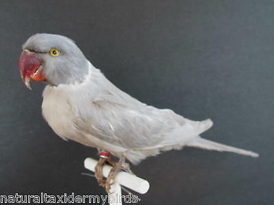 Gray Indian Ringneck Real Bird Taxidermy Mount
