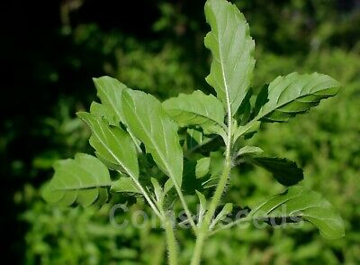 100 Seeds Thai Holy Basil Green Leaf White Flower, Tulsi, Sacred Basil, Kraphao