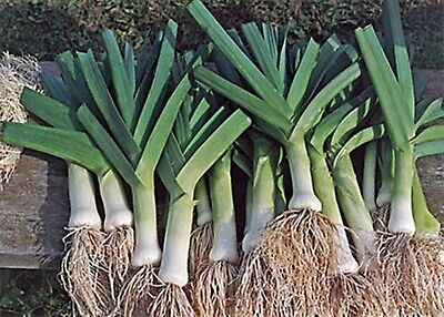 Vegetable Seeds Leek Karatanskiy Organically Grown Russian Heirloom NON-GMO