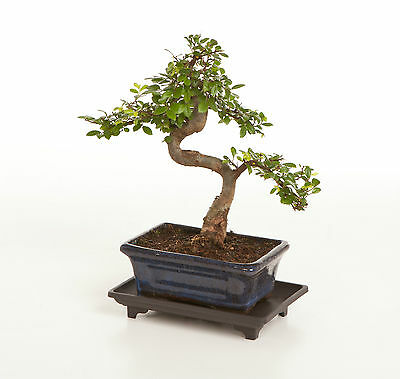 Bonsai Tree Chinese Elm Indoor / Outdoor  + FREE DRIP TRAY