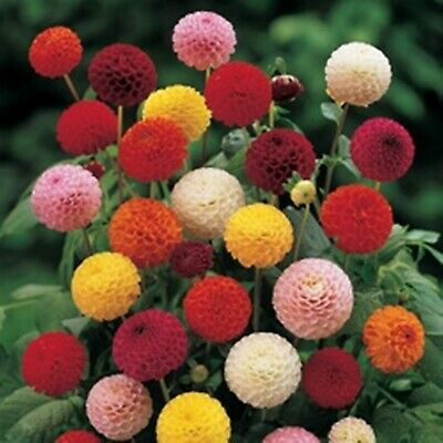 Flower Seeds Double Dahlia Poponna Mixture Organic Flowers Seed Mix