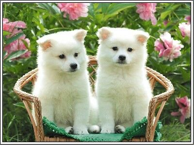 Set of 4 Dog American Eskimo Dogs Puppies Puppy Stationery Notecards / Envelopes