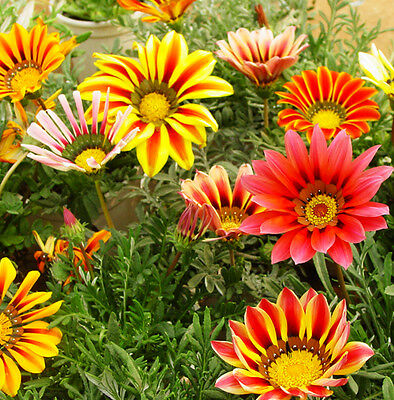 50 Colorful Gazania Seeds Gazania Garden Flowers
