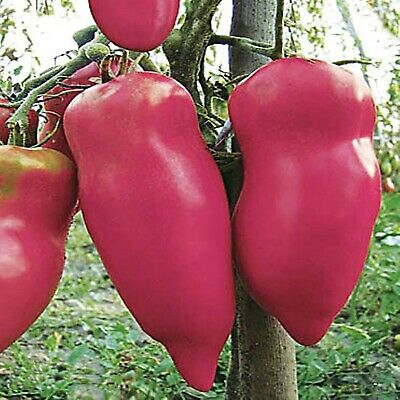 Rare Seeds Tomato Pertsevidnyy Rozovyy - Pink Pepper Organically Grown Heirloom