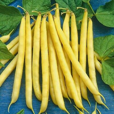 Vegetable Seeds Yellow Asparagus Beans Panther Organically Grown Heirloom
