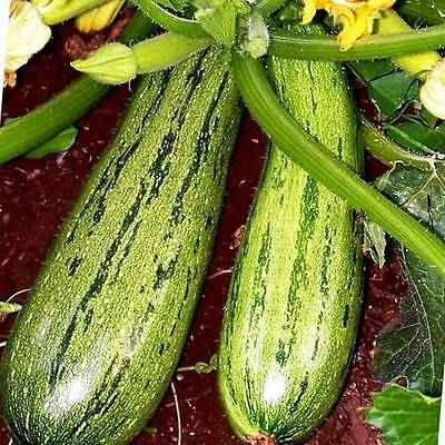 LEBANESE ZUCCHINI (COURGETTE) - 15 seeds (HERITAGE)