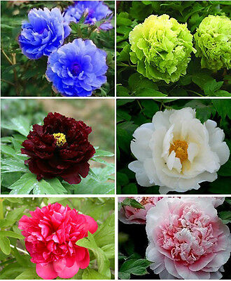 120 Peony Seeds 6 Colors Blue Green White Black Red Pink Peony Flower Seed