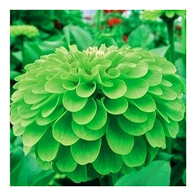 50 Green Zinnia Seeds Zinnia Elegans youth-and-old-age Garden Flowers