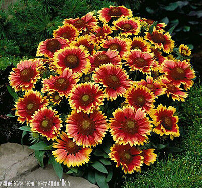 350 Gaillardia aristata Seeds Blanket Flower Pulchella Garden Perennial Heirloom
