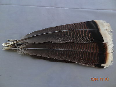 12 #1 Juvenile Merriam's Wild Turkey Tail Feathers /Fly-Tying