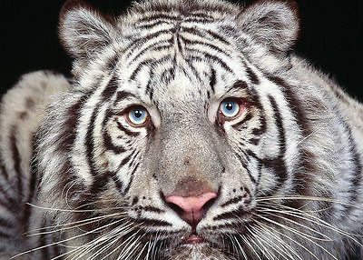 HD prints oil painting on canvas Home Decor Wall Art 20x16inch White tiger NTD01