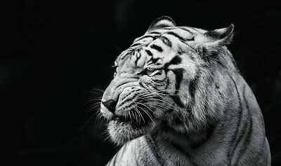 HD prints oil painting on canvas Home Decor Wall Art 24x16inch White tiger NTD02