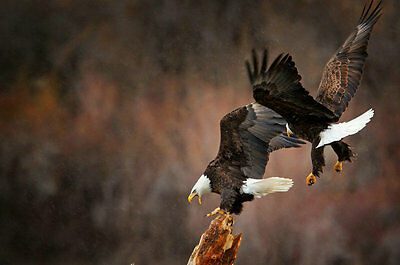 Modern Home Decor HD Prints oil painting art on canvas 16x24inch Eagle NTD038