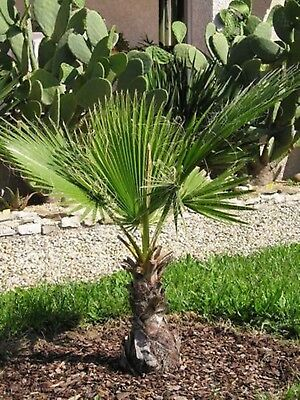Seeds California Fan Palm (Washingtonia fuliferaI) Perennial