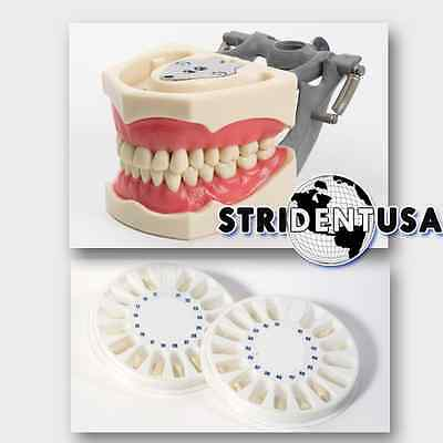 Dental Typodont  Om 860 Teaching Model W/ 2 Extra Set Of Teeth (96 Total Teeth)