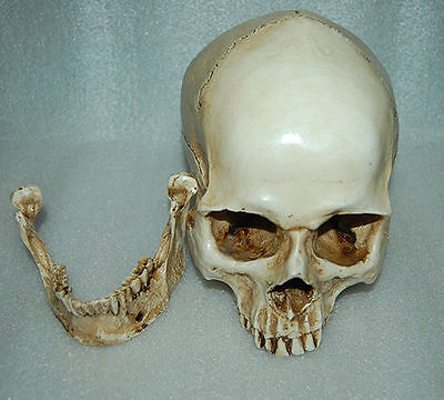 Education Resin Replica 1:1 Real Life Human Anatomy Skull Skeleton Medical Party