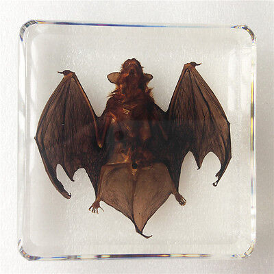 Greater Bamboo Bat Animal Specimen In Clear Lucite