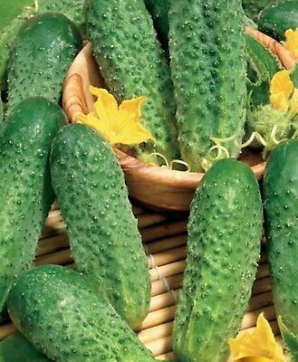 Seeds Cucumber Anulka F1 Russian Hybrid Vegetable Variety NON GMO