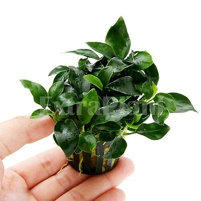 Anubias Petite Full Pot Nana Barteri Aquatic Live Aquarium Plants  BUY2GET1FREE*