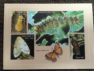 "Gypsy Moth Information card, Shows Stages Of Life, size: 5-1/2"" X 4"""
