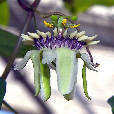 Passiflora colinvauxii•10 Samen/seeds•Passionsblume•Duft•Passion Flower