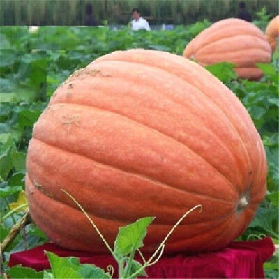 FD1037 Pumpkin Seed Giant Pumpkin Vegetables Seed Tender and Juicy Healthful ✿