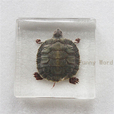 Real Farmed Turtle Specimen - Red-eared Slider (in Clear Square Paperweight) New