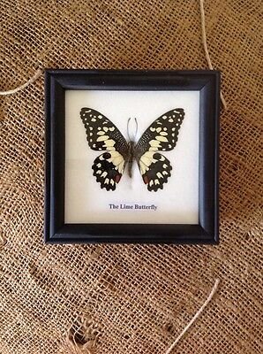 Taxidermy Framed Butterfly Moth LIME BUTTERFLY (b) vintage Industrial decor