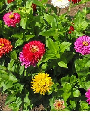 Zinnia, California Giants Flower Seeds